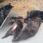 Bears found dead in West Wyoming