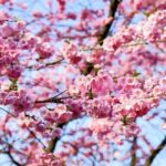 West Pittston Cherry Blossom Festival Committee meeting March 6